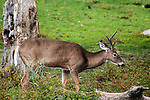 White-tailed Deer young buck standing in open field looking at camera with velvet covered antlers