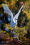 Moving On.  This snowy egret had been checking out various fishing holes in search of brunch at the Gilbert (Arizona) Water Ranch on a sunny morning.  It posed here for a while just above the pond, but then apparently decided that there was too much competition from a myriad of cormorants also hanging out right above it.  I captured it filling my camera frame just after its feet lifted off from the tree.<br /> <br /> Image ©2020 James D. Peterson