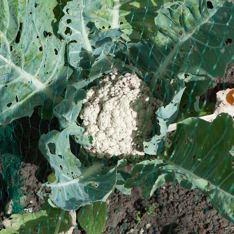 Cauliflower protected with netting, early August.