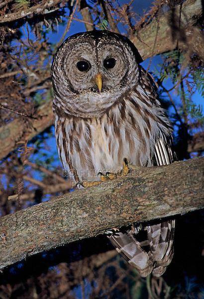 Barred Owl, Strix varia, adult, Corkscrew Swamp Sanctuary, Florida, USA