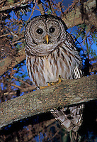 Barred Owl, Strix varia, adult, Corkscrew Swamp Sanctuary, Florida, USA