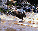 A terrified common wildebeest leaps as far from the banks of the Mara River as possible. Crocodiles often lie hidden just below the water suface along the river's edge. Once in the water, wildebeests swim with such intensity that they appear to hydroplane across the river's surface.
