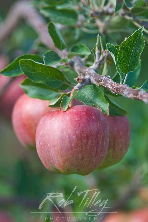 NA; Canada; British Columbia; Okanagan Valley; Apple; Selective Focus;