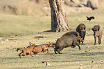 Indian Wild Dogs or Dhole (Cuon alpinus) attacking / hunting a Wild boar. Pench National Park, Madhya Pradesh, India.
