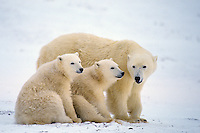 Polar bear (Ursus maritimus) female with cubs.  Hudson Bay, Canada.