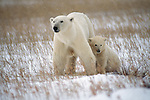 A polar bear cub sits close to its mother for warmth and protection.
