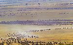 White-bearded wildebeest migrate across the plains, Maasai Mara National Reserve, Kenya