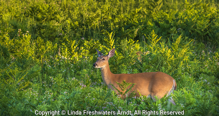 White-tailed doe in a summer field of spreading dogbane.