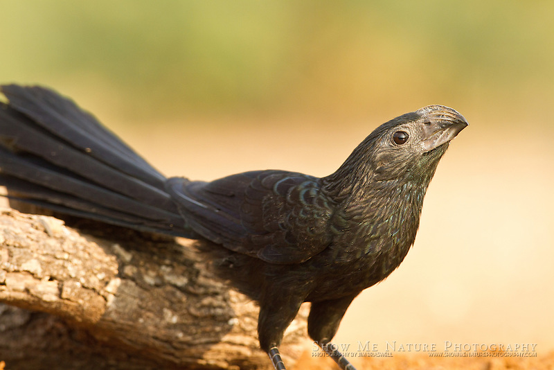 Groove-billed Ani at a water hole in south Texas