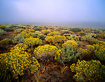 Morning fog and blooming rabbitbrush, Owens Valley, California