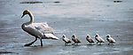 Female Mute Swan and Cygnets<br /> 9.25 x 4 in. blank notecard with white envelope. Printed in the USA with soy-based inks on recycled paper. Watermark does not appear on product.