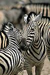 Two Burchell's zebras nuzzle each other in Kenya.