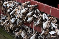 Fischköpfe, Fische werden im Hafen, Fischereihafen getrocknet, Lofoten, Norwegen, Skandinavien, Trockenfisch, Fischerei, Fischereiwirtschaft
