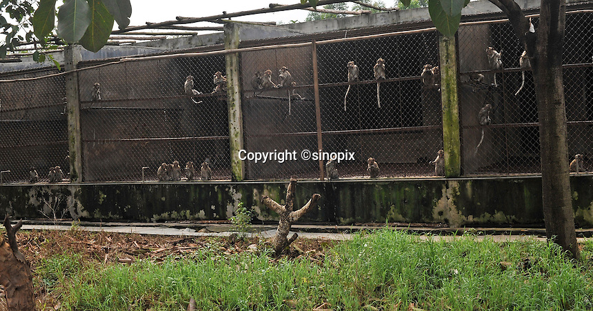 Long Tailed Macaque monkeys at the Conghua Yueyuan Laboratory Animal Breeding Center, Guangdong Province, China. The center breeds monkeys mostly for export to the US and Europe where pharmaceutical and cosmetic companies use them vivisection..Jul 2009...SINOPIX PHOTO