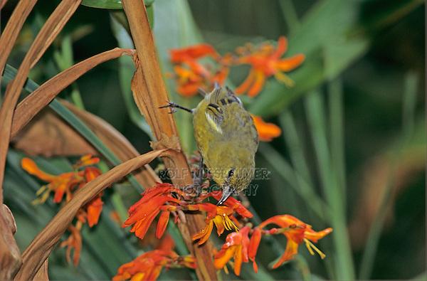 Amakihi, Hemignathus kauaiensis, adult feeding on flower, Alakai Swamp, Kauai, Hawaii, USA, August 1997