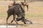 Eagle is on the recieving end from an attack for once by both a bird and a wildebeest by Anja Denker