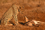 "DEATH STARE.... A cheetah looks transfixed on an impala, its latest kill, at the Zimanga Game Reserve, Mkuze, South Africa.<br /> <br /> The scene was captured by Alec Connah, 65, from Coalbrookdale, Shropshire.<br /> <br /> Alec said, ""We were out on a game drive just after sunrise and had seen a cheetah run past us a few minutes earlier in pursuit of something.  The driver turned the Landrover around and followed the big cat at a distance and then into dense bush.""<br /> <br /> ""We emerged into a clearing and saw that the cheetah had just chased and caught an Impala. It had pulled it to the ground and had it by the throat. The Impala was still struggling when we pulled up.   I picked up my camera and slowly walked a few paces towards the scene. I then knelt down and pointed my lens at the drama unfolding about 20ft in front of me. The Impala had just expired, and the cheetah sat up and looked it in its still bright eye before relaxing and settling down prior to consuming its breakfast.""<br /> <br /> ""It had been extra special to be on foot when taking this shot!""<br /> <br /> Please byline: Alec Connah/Solent News<br /> <br /> © Alec Connah/Solent News & Photo Agency<br /> UK +44 (0) 2380 458800"