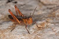 Grashüpfer, Chorthippus  spec., grasshopper