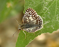 White Checkered-Skipper
