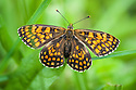 Heath fritillary (Melitaea athalia), Aveyron, France, June.