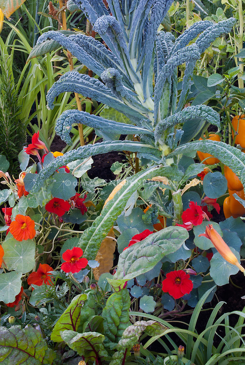 Dinosaur Kale with Tropaeolum nasturtiums edible flowers, peppers in vegetable and flower garden mixture, Italian variety Lacinato 40200 aka Cavalo Nero kale