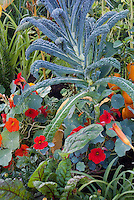 Dinosaur Kale with Tropaeolum nasturtiums edible flowers, peppers in vegetable and flower garden mixture, Italian variety Lacinato 40200 aka Cavalo Nero kale