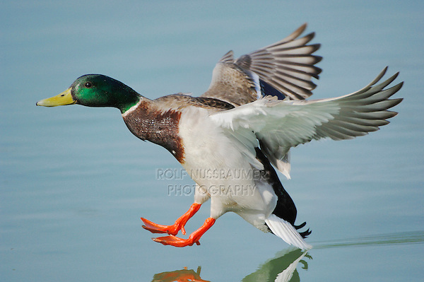 Mallard (Anas platyrhynchos), male in flight, Switzerland