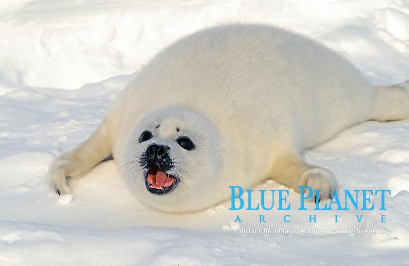 harp seal, Pagophilus groenlandicus, pup calling mon on Ice floe, Magdalen Islands, Quebec, Canada, Gulf of Saint Lawrence, Atlantic Ocean