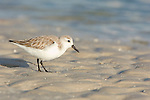 USA, Florida, Ft. Myer's Beach, Sanderling (Calidris alba)