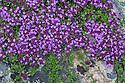 Wild / Creeping Thyme {Thymus polytrichus} Nordtirol, Austrian Alps. July.