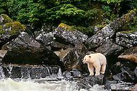 Kermode Black Bear (Ursus americanus kermodei) along coastal British Columbia salmon stream.  Sept.  Princess Royal Island.