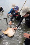 Earthwatch Team Checking Out Thornback Ray