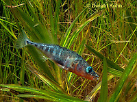 1S12-541z  Male Threespine Stickleback,  Mating colors showing bright red belly and blue eyes,  Gasterosteus aculeatus,  Hotel Lake British Columbia