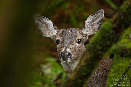 Mule Deer in Forest, Washington Coast