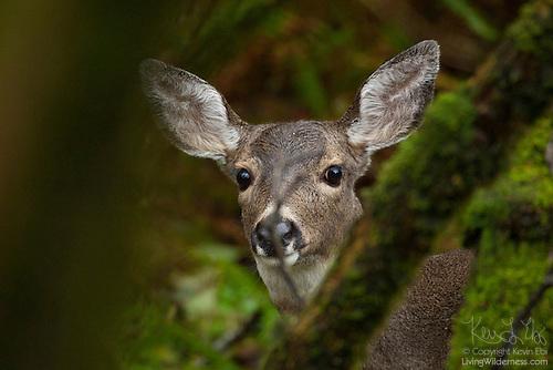 Mule Deer in Forest, Washington Coast