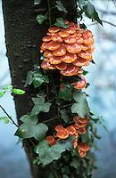 """Trezzo sull'Adda (Milano). Flammulina velutipes, """"fungo dell'olmo"""", sulla sponda del fiume --- Trezzo sull'Adda (Milan). Enokitake mushrooms on the Adda riverbank"""