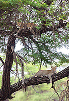 This remains one of my favorite wildlife encounters. We were in Tarangire National Park when I (not our eagle-eyed guide) spotted this handsome male leopard in a tree. It turned out he was accompanied by a female (top). A pretty special first leopard encounter!