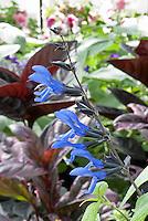 Salvia guaranitica Black and Blue blue flowers