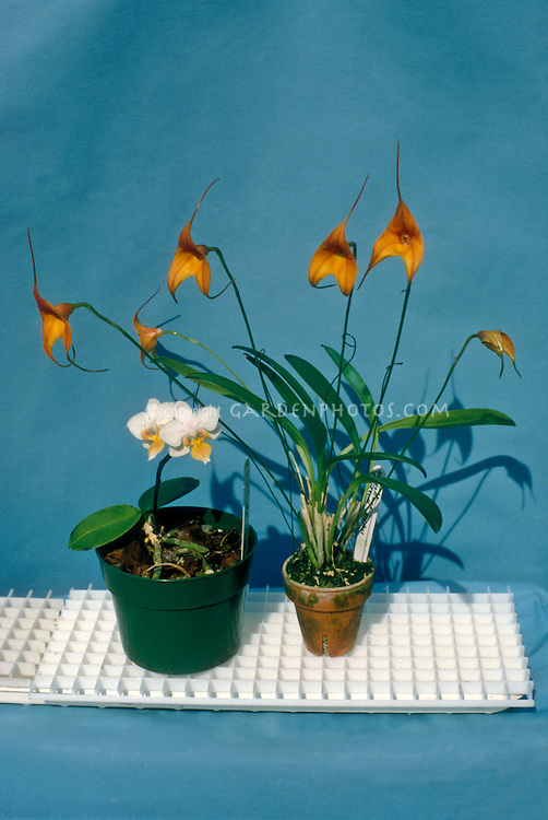 """Monopodial orchid (minature Phalaenopsis) next to a Sympodial orchid (Masdevallia), sitting on plastic """"egg crate,"""" which is a good way to stand orchid pots above a tray of water to increase humidity"""