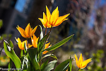 Tulips on the Rose Fitzgerald Kennedy Greenway, Boston, Massachusetts, USA