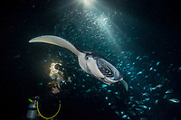 Douglas Seifert photographs reef manta ray, Manta alfredi, feeding on plankton attracted by lights placed by divers at night among Hawaiian flagtail or aholehole, Kuhlia xenura ( endemic species), schooling in Makako Bay, Keahole, Kona, Hawaii Island ( the Big Island ), Hawaii, USA ( Central Pacific Ocean ) MR 474