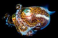 humming-bird bobtail squid, Berry's bobtail squid, Euprymna berryi, Tufi, Papua New Guinea, Solomon Sea, Indo-Pacific Ocean