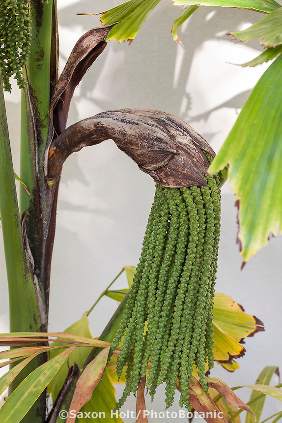 Seed pod unfolding Distichous Fishtail Palm (aka Wallich Palm foxtail palm), Wallichia disticha, in greenhouse of Southern California garden
