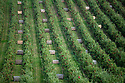 07/10/19<br /> <br /> ***Video also available*** <br /> <br /> Aerial shot showing wooden bins, waiting to be filled with Great British Gala apples.<br /> <br /> Skilled workers are hand-picking British apples at an orchard in Kent, signalling the start of this year's season. Warm days and cold nights in late August and early September have produced an extremely vibrant crop.  <br /> <br /> All Rights Reserved, F Stop Press Ltd +44 (0)7765 242650 www.fstoppress.com rod@fstoppress.com