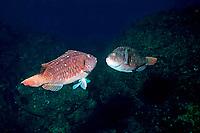 Japanese parrotfish, Calotomus japonicus, Izu ocean park, Sagami bay, Izu peninsula, Shizuoka, Japan, Pacific Ocean