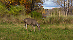 White-tailed doe in a northern Wisconsin field.