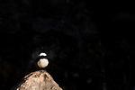 South Arabian Wheatear (Oenanthe lugentoides) male, Hawf Protected Area, Yemen