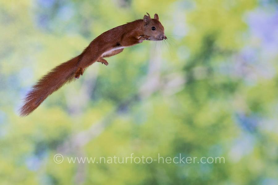 Europäisches Eichhörnchen, Eurasisches Eichhörnchen, Eichhörnchen, im Sprung, Flug, springend, Sciurus vulgaris, European red squirrel, red squirrel, jump, jumping, L'écureuil d'Eurasie, écureuil roux