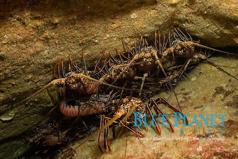 congregation of spiny lobsters, Panulirus marginatus, cocos island, costa rica, pacific ocean