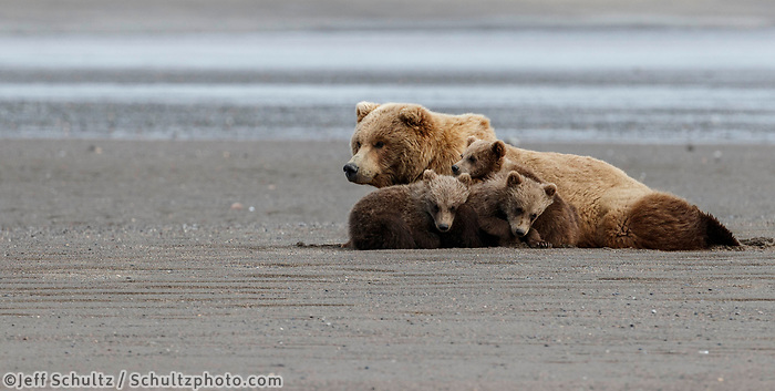 Brown Bear sow and three (triplets) cubs sleep in sand on shore of Cook Inlet in Lake Clark National Park.  Silver Salmon Creek area. Western Alaska  Summer<br /> <br /> Photo by Jeff Schultz/  (C) 2020  ALL RIGHTS RESERVED